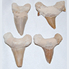 Image of shark teeth, medium
